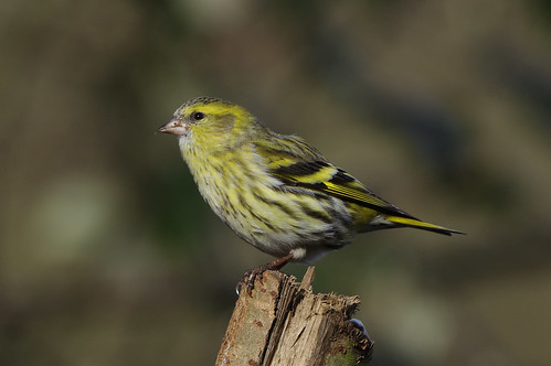 wild bird wildlife nature lackfordlakes suffolk siskin woodland carduelisspinus