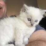 Dixie, a beautiful blue lynx mitted ragdoll girl!