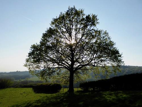 Oak near Ide Hill Edenbridge to Westerham walk