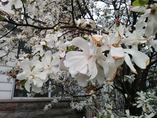 White tilia flowers (?) #toronto #lansdowneave #wallaceemerson #frontyard #gardens #tilia #linden #white #flowers #latergram