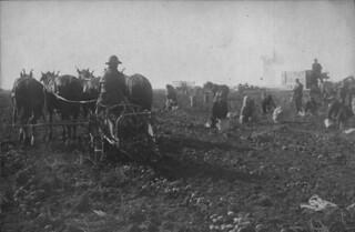 Digging up potatoes, Moose Jaw, Saskatchewan / Récolte de pommes de terre, Moose Jaw (Saskatchewan)