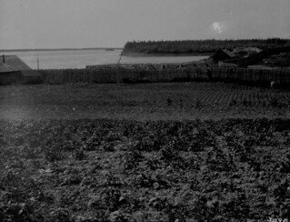 A potato garden, Fort Providence, Northwest Territories / Jardin de pommes de terre, Fort Providence, Territoires du Nord-Ouest
