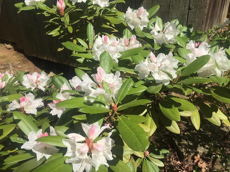 Rhododendron Southgate 'Divine' or Lissene Rockefeller