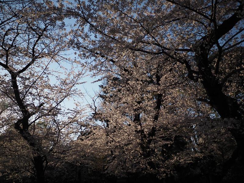 靖国神社の桜、平成31年卯月、Sakura at Yasukuni Shrine, April 2019