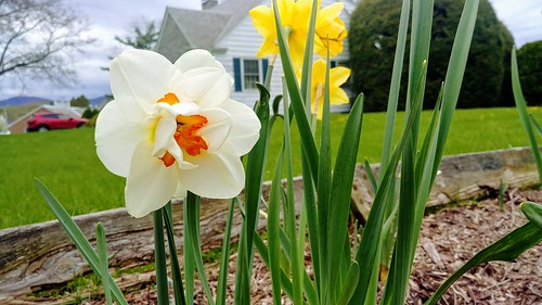 First Double Daffodil