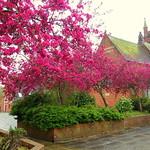 Spring colour at Emmanuel Church in Brook Street, Plungington, Preston