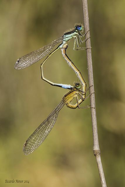 Ischnura elegans. Mating