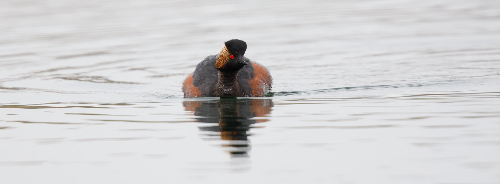 Black-necked Grebe