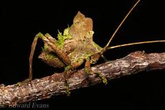 Cryptic juvenile katydid (Tettigoniidae)