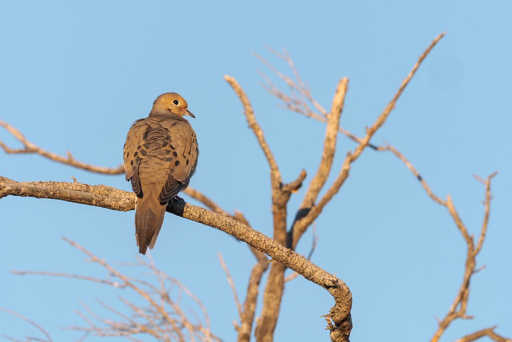 A mourning dove shows off the distinctive black spots running down its wings early on a spring morning along the Latigo Trail in McDowell Sonoran Preserve in Scottsdale, Arizona