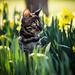 Daffodil kitten