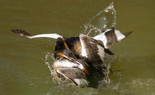 Grebes fighting | by Evelakes67