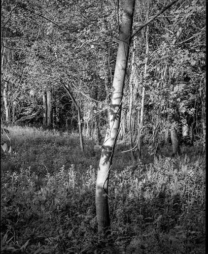 forest forestsedge trees latelight craggyavenue asheville northcarolina bencinikoroll bencini kodaktrix400 hc110developer 120 120film film 645 mediumformat monochrome monochromatic blackandwhite landscape
