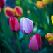Tulips by Alejandro Ortiz III