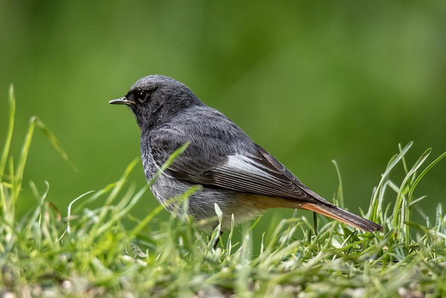 Rotschwanz / Redstart