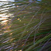 Water drops on grass in the sunset