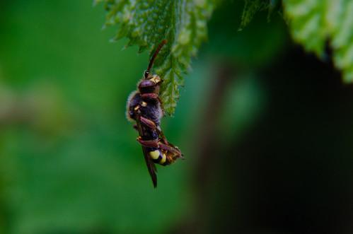 Wasp asleep, early morning