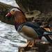 Mandarin Duck by RJT11