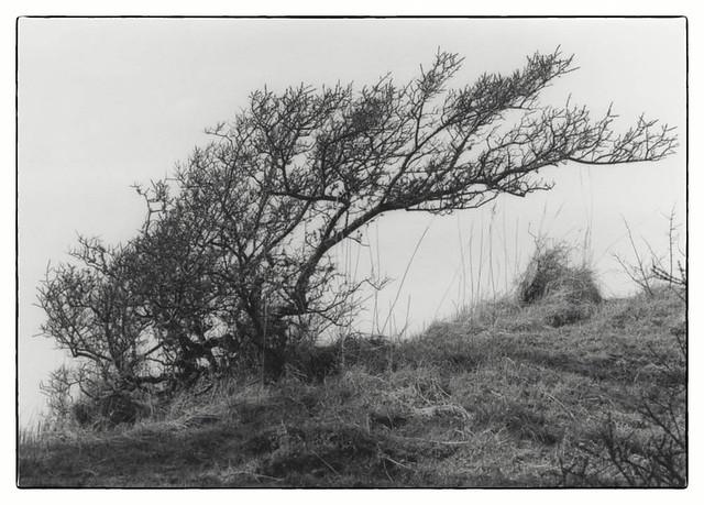 Tree on the west coast of Denmark