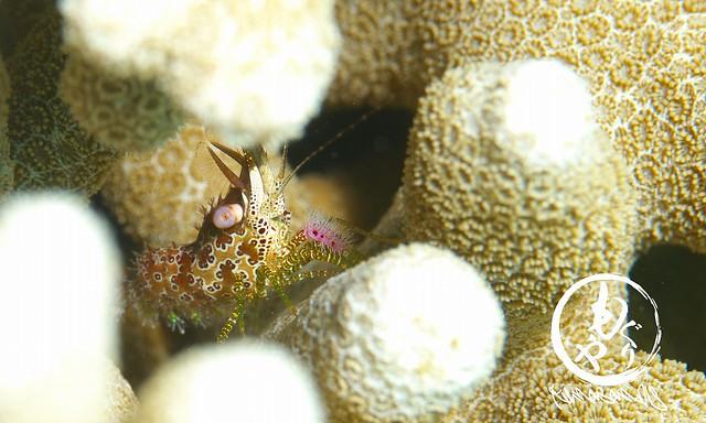 サンゴモエビ