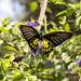 Common birdwing, Troides helena, Cambodia