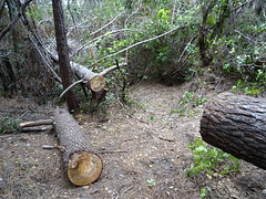 Le chemin de Luviu :  le gros pin couché après tronçonnage