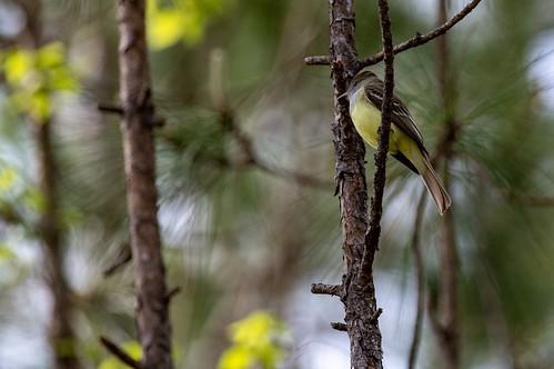 Flycatcher | by ramseybuckeye