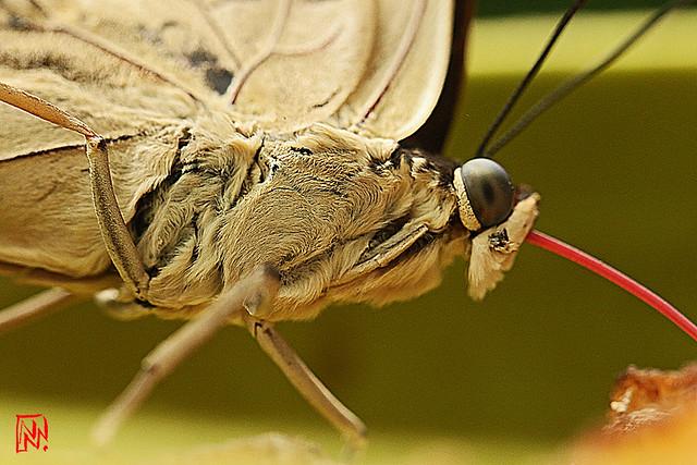 Un papillon... ça mange aussi de la banane !
