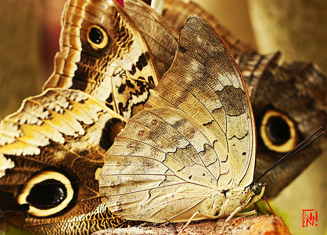 Méli-mélo de papillons à la mangeoire