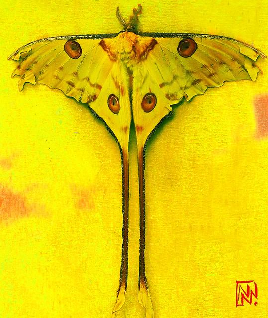 Papillon Comète de Madagascar à longue queue