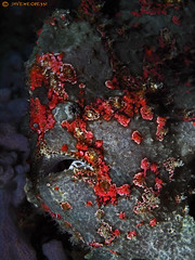 Giant Frogfish - Antennarius commerson