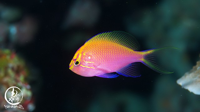初めてみた時から倍の大きさに成長してたハナゴンベ幼魚ちゃん♪