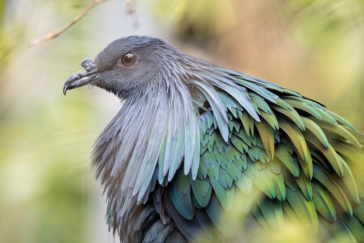 Pigeon d'apparat 46917818984_d1a3aa8560_o