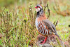 Alectoris rufa - Perdiz Vermelha - Red legged Partridge