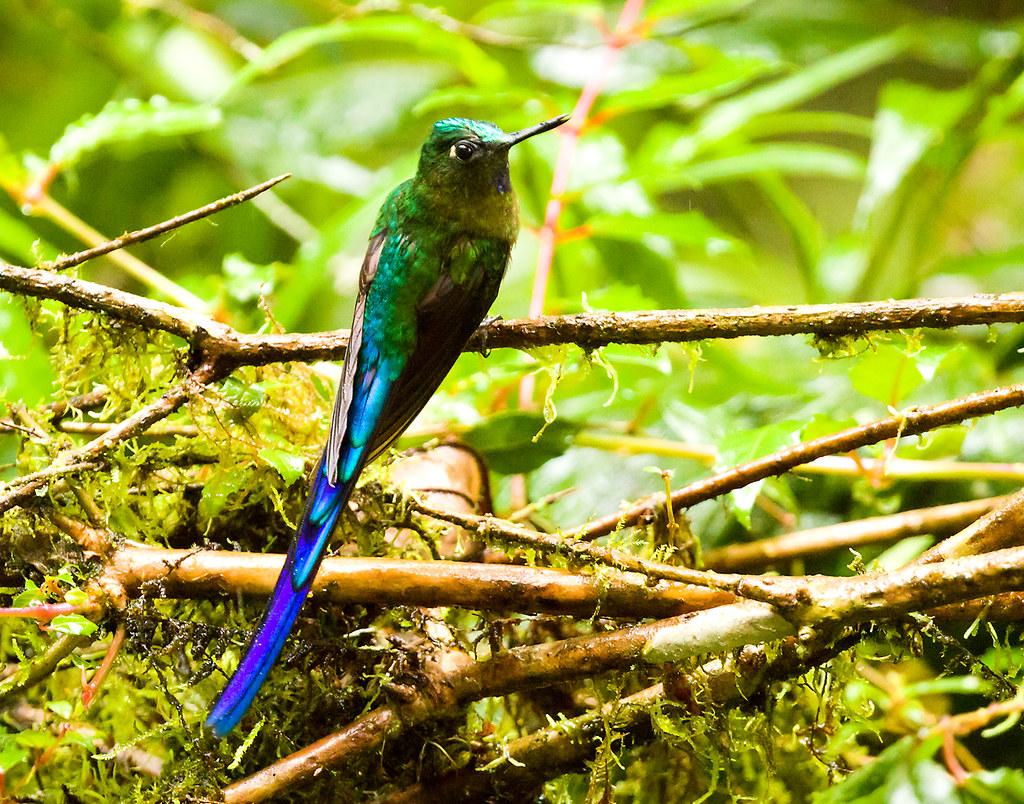 0P7A1420  Violet-tailed Sylph_hummingbird, in Ecuador