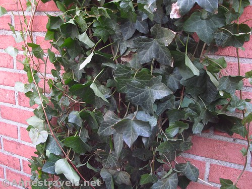 Ivy on a brick wall along the road to Corbett's Glen in Penfield, New York