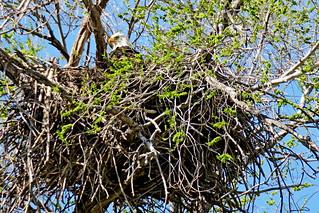 Bald Eagle on nest, Kittitas County, WA 4/18/19