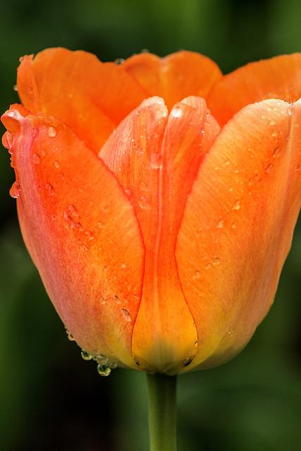 Side View Tulip 3-0 F LR 4-13-19 J218