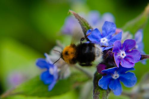 Bumblebee feeding on alkanet flower