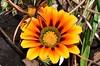 Gazania Madeira Botanical Garden (29) Thank you Paula for the flowers name by John Carson Essex UK