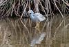 White-faced Heron by Stewart M