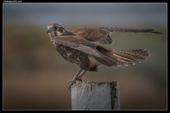 Brown Falcon, Brown on Brown