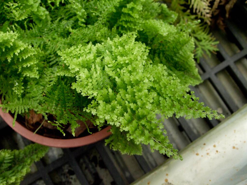 已有許多室內植物被證實有改善室內空氣品質的效用,圖為細葉波士頓腎蕨。圖:石川 Shihchuan via flickr (CC BY-ND 2.0)