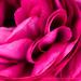 Pink Ranunculus Petals, 2.28.18