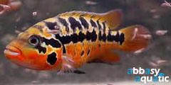 Red Tiger Moutaguensis