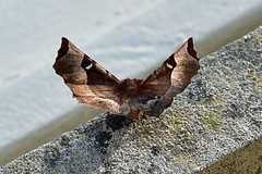 Purple Thorn ... Selenia tetralunaria