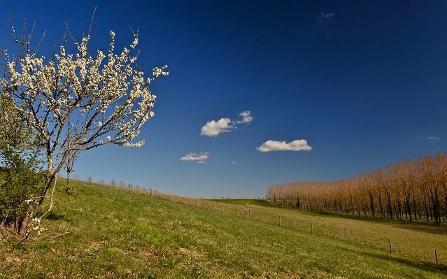 cerisier en habit de printemps