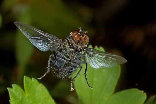Rolf_Nagel-Fl-0363-Calliphoridae | by Insektenflug
