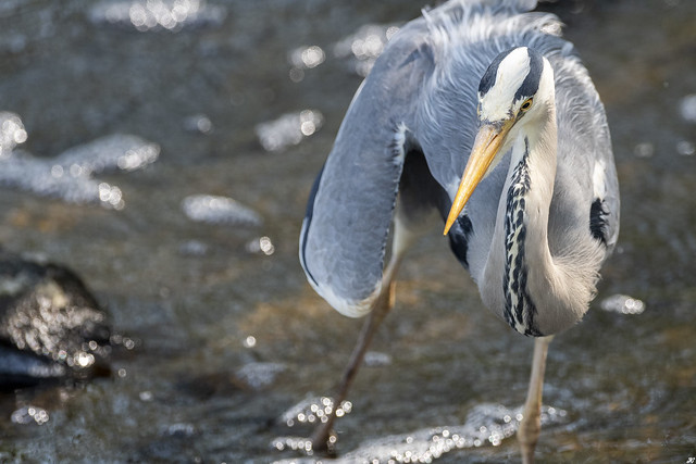Grey Heron, Attenborough Nature Reserve.