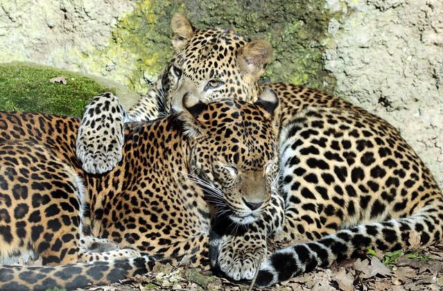 shrilankan panther Burgerszoo 094A1070
